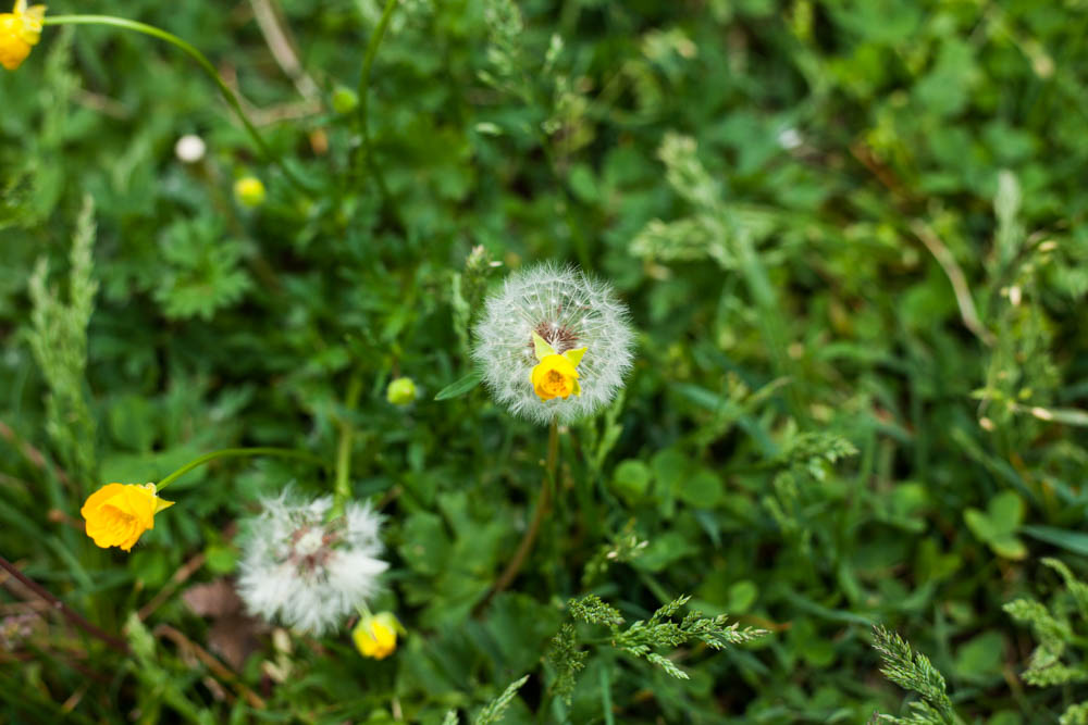 Channeling Dandelions For Beltane | Uncustomary