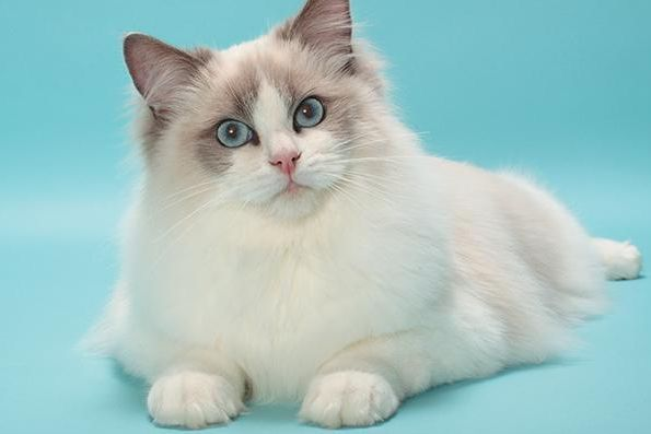 Cutest Cat Breeds In The World Uncustomary