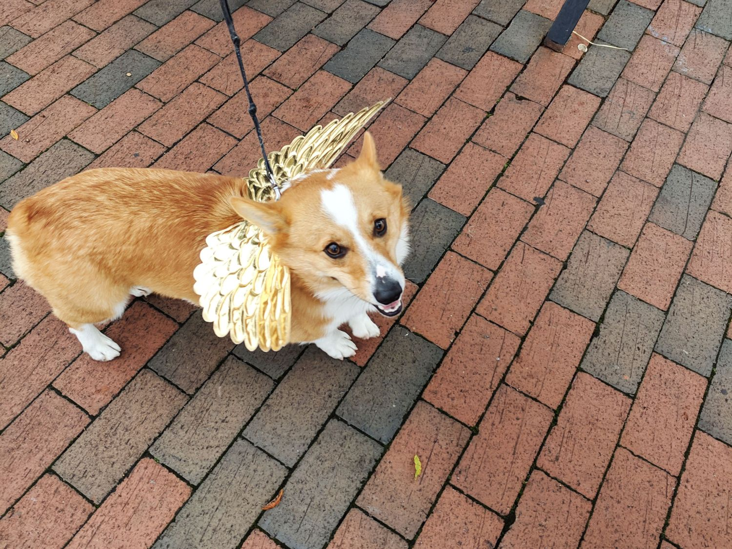 Corgi Halloween | Corgi Costumes For Halloween Uncustomary